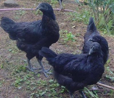 这是一张关于五黑一绿鸡苗 的产品图片