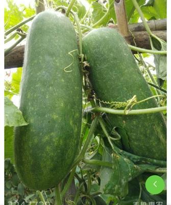 广西壮族自治区桂林市永福县一串铃冬瓜 2斤以上 硬毛
