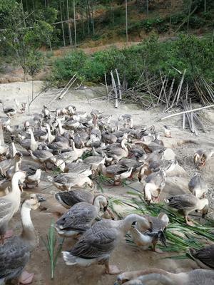 福建省龙岩市漳平市狮头鹅 统货 半圈养半散养 12斤以上