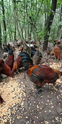 这是一张关于土鸡 公 3-4斤的产品图片