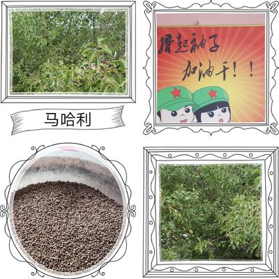 辽宁省大连市瓦房店市樱桃种子