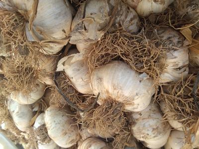 山东省潍坊市安丘市紫皮大蒜 混级统货 多瓣蒜