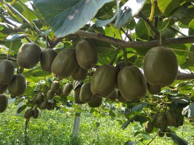 这是一张关于博山猕猴桃 80~100克的产品图片
