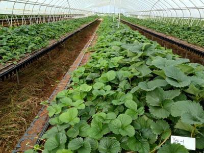 山东省泰安市岱岳区宁玉草莓苗 地栽苗 10~20公分