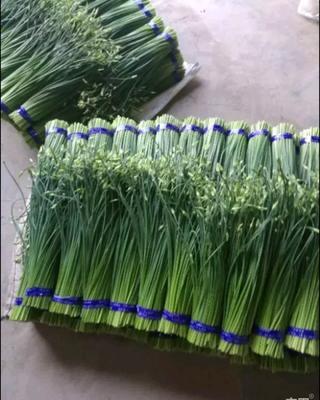 山东省潍坊市寿光市韭菜苔 25~30cm