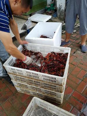 湖北省黄石市阳新县红壳小龙虾 人工殖养 7-9钱