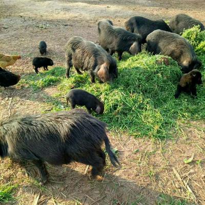 这是一张关于藏香猪 60斤以上的产品图片