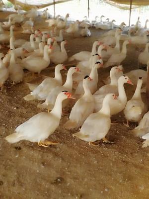 陕西省渭南市华县白番鸭 公 全散养 9-10斤