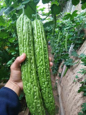 山东省潍坊市寿光市苦瓜种子