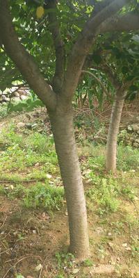 山东省青岛市黄岛区晚樱 14~16公分 3.5米~5米
