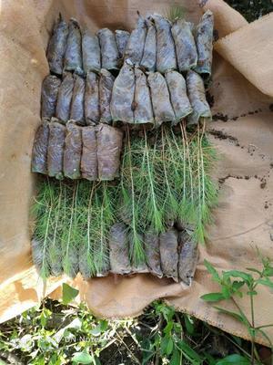 广西壮族自治区桂林市七星区湿地松树苗