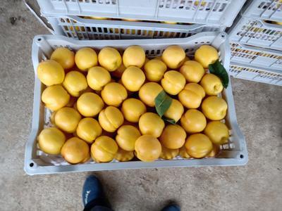 北京平谷区黄油桃 2两以上 50mm以上
