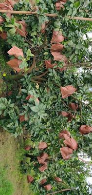 海南省临高县临高县红心柚 2.5斤以上