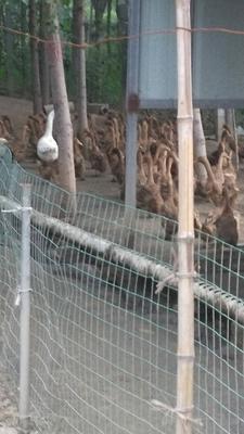 河北省石家庄市藁城区淘汰鸭 母 半圈养半散养 3-4斤