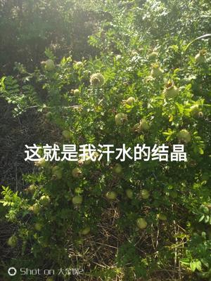 贵州省黔南布依族苗族自治州瓮安县金刺梨