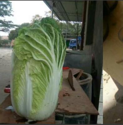 甘肃省定西市安定区韩国黄心白菜 6~10斤 毛菜