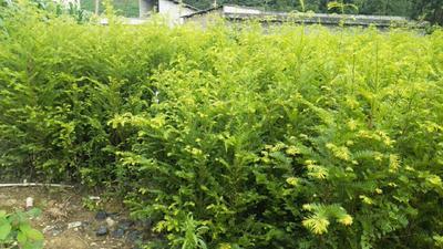 贵州省黔西南布依族苗族自治州兴义市南方红豆杉 1.5~2米
