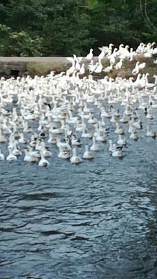 四川省广元市昭化区花边鸭 统货 全散养 4-5斤
