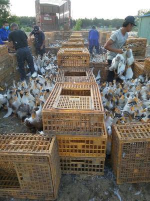 江西省上饶市鄱阳县花边鸭 统货 全散养 4-5斤