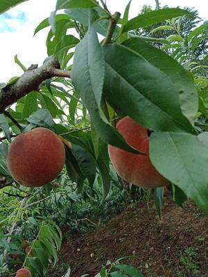 贵州省遵义市湄潭县苹果桃 70mm以上 4-5两