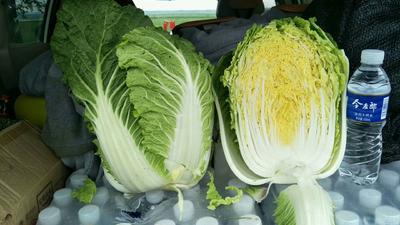 河北省张家口市张北县黄心大白菜 3~6斤 净菜