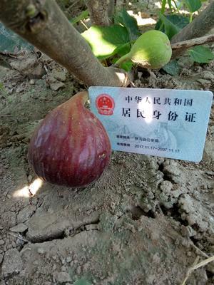 河南省周口市扶沟县波姬红无花果 60-70克