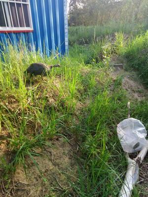 内蒙古自治区赤峰市松山区银斑珍珠鸡 2-4斤