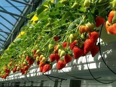 山东省泰安市岱岳区甜查理草莓苗 地栽苗 10~20公分