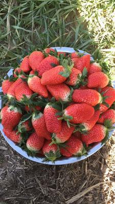 山东省济南市历城区甜宝草莓苗 地栽苗 10~20公分