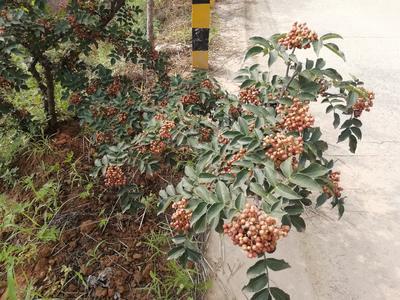 陕西省渭南市韩城市花椒种子