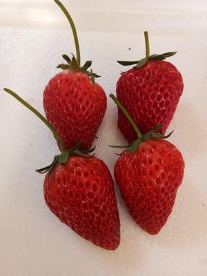 山东省泰安市岱岳区章姬草莓苗 地栽苗 10~20公分