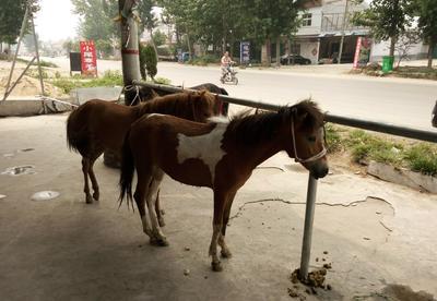 山东省济宁市梁山县矮马 200斤以下