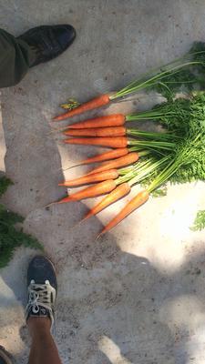内蒙古自治区赤峰市松山区三红胡萝卜 15cm以上 2两以上 4~5cm