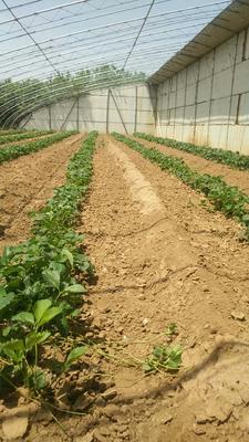 山东省泰安市岱岳区红颜草莓苗 地栽苗 10~20公分