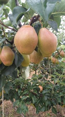 这是一张关于红香酥梨 60-100g 60mm以上的产品图片