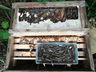 广西壮族自治区河池市东兰县中华蜜蜂