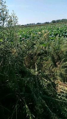 湖北省黄冈市团风县铁莲子 95%-98% 特级