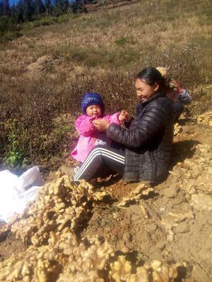 云南省红河哈尼族彝族自治州屏边苗族自治县黄姜 带土 7两以上