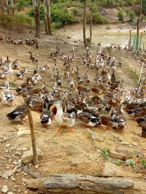 广西壮族自治区钦州市灵山县麻鸭 统货 全散养 5-6斤
