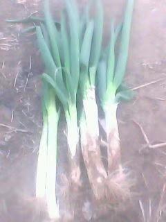 黑龙江省哈尔滨市香坊区长白大葱 2cm左右 30~40cm 毛葱