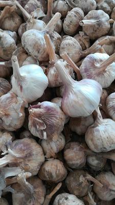 河南省濮阳市濮阳县白皮大蒜 5~5.5cm 多瓣蒜