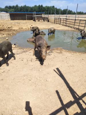 山东省青岛市城阳区生态野猪 160-200斤 统货
