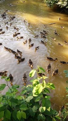 安徽省六安市裕安区麻鸭 统货 全散养 4-5斤