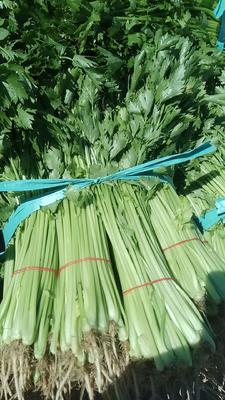 江苏省南通市港闸区香芹 45~50cm 大棚种植 0.5斤以下