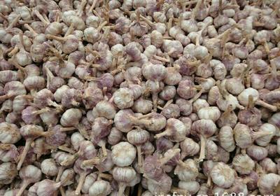 山东省菏泽市巨野县金乡大蒜 4.5-5.0cm 多瓣蒜