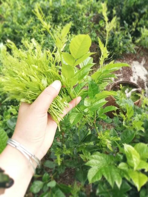 茅岩莓施用有机肥的技术