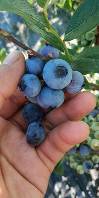 吉林省白山市抚松县北极星蓝莓 鲜果 10 - 12mm以上