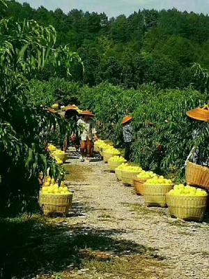 湖南省长沙市开福区炎陵黄桃 60mm以上 4两以上