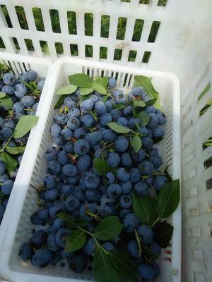 吉林省白山市靖宇县北陆蓝莓 鲜果 10 - 12mm以上