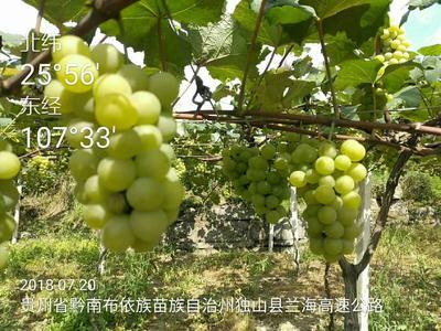 这是一张关于水晶葡萄 5%以下 1次果 0.6-0.8斤的产品图片